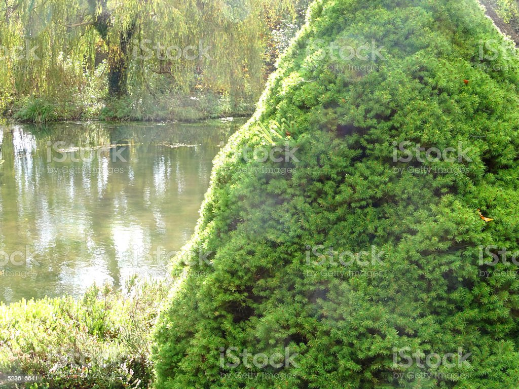 Dwarf Alberta spruce by garden pond (Picea glauca Rainbow's End) stock photo
