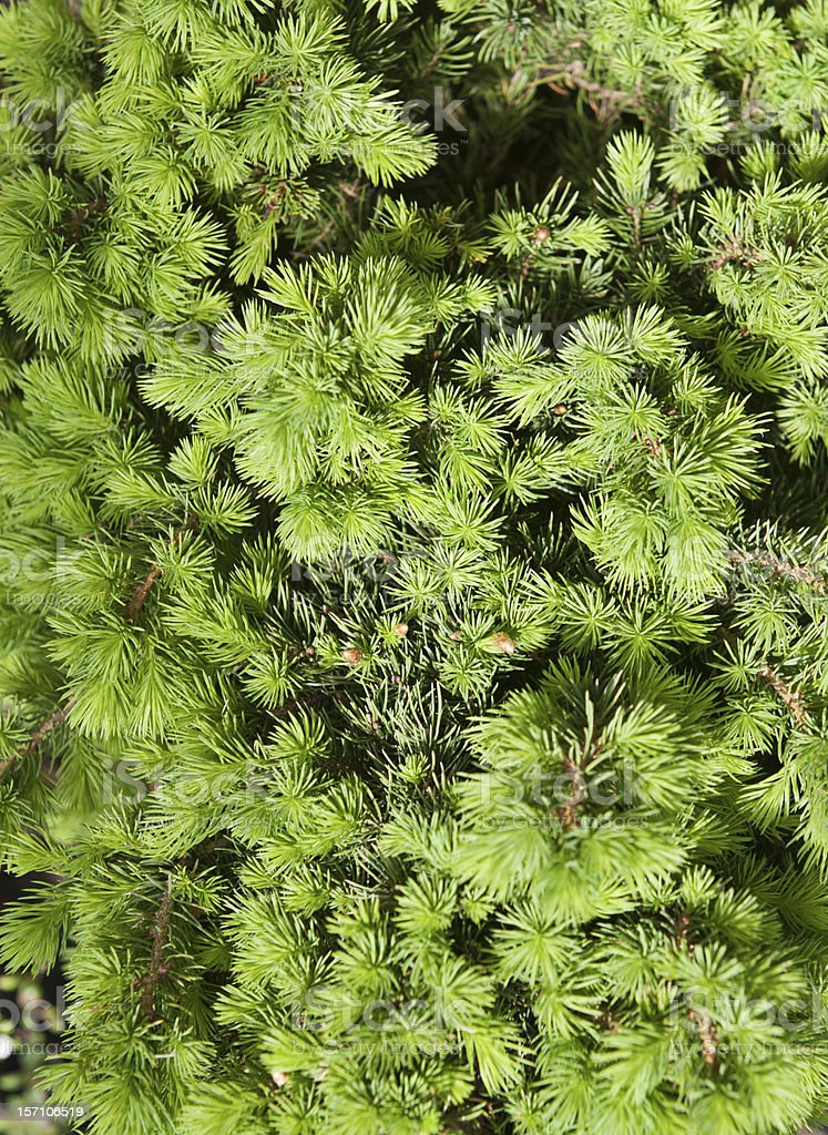 Dwarf Alberta Spruce stock photo
