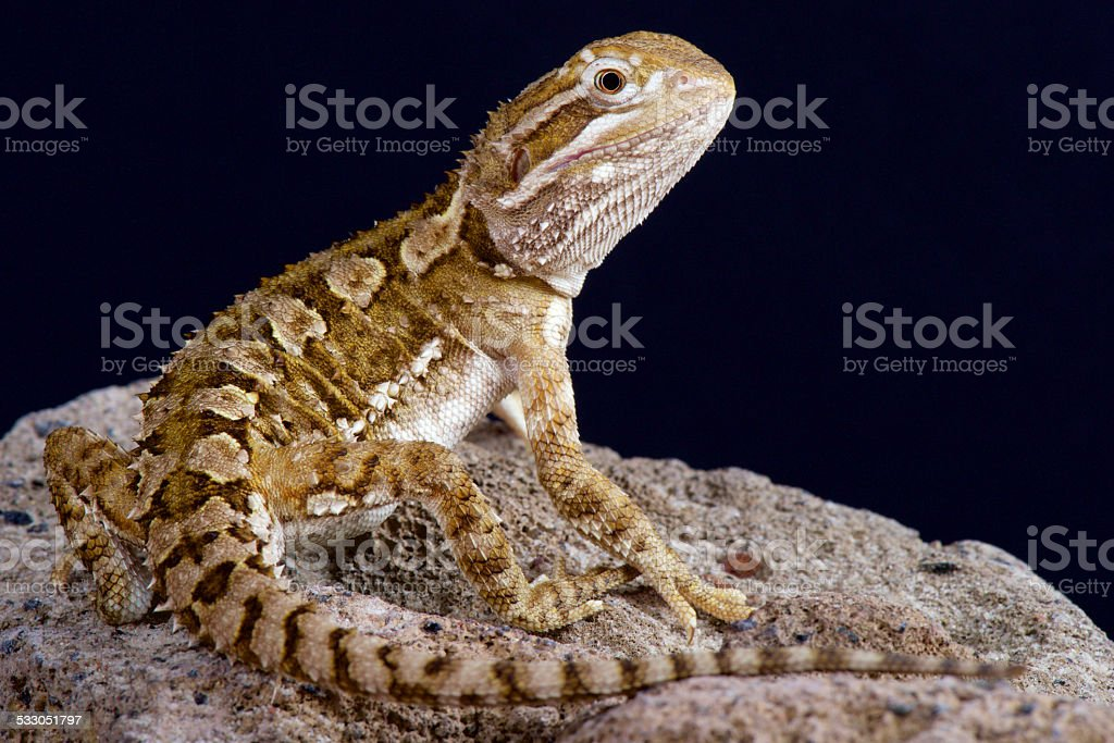 Dwarf bearded dragon (Pogonoa henrylawsoni) stock photo