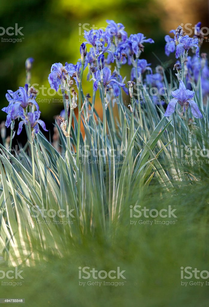 Dwarf blue iris with variegated foliage stock photo
