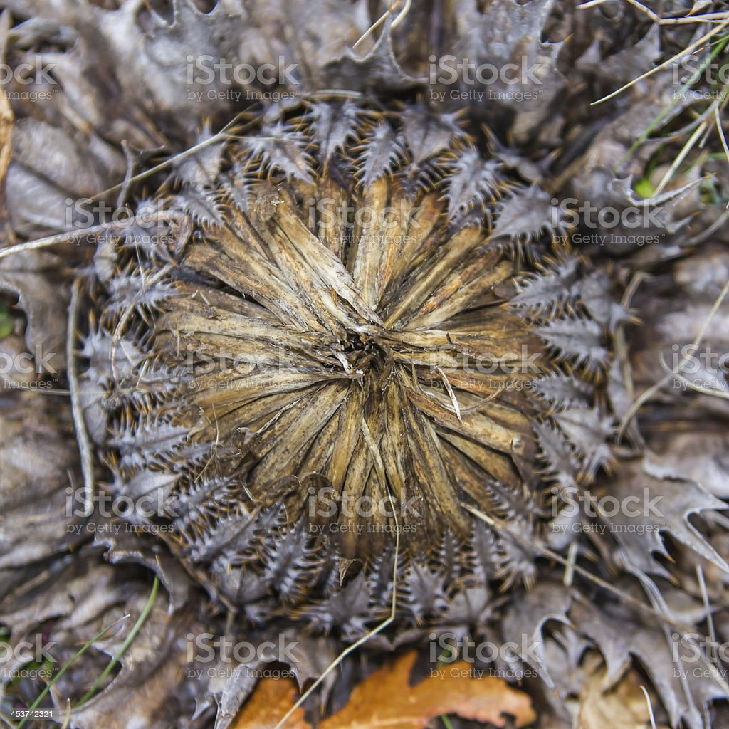 dwarf carline thistle (Carlina acaulis) stock photo