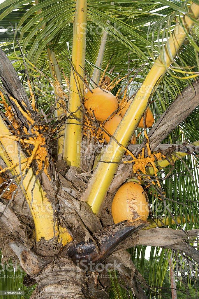 Dwarf coconut tree stock photo