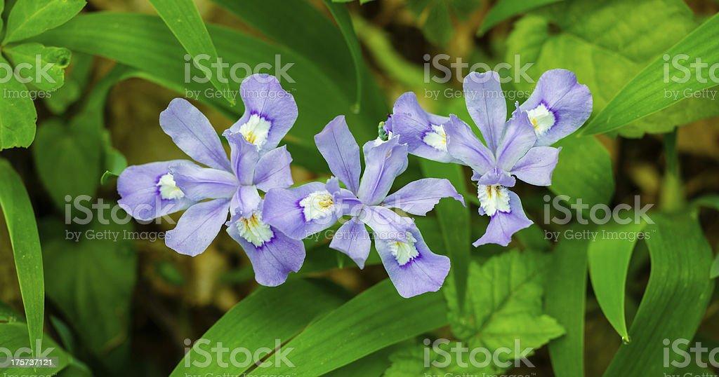 Dwarf Crested Iris Flowers stock photo