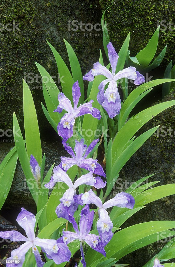 Dwarf Crested Iris Wild Flower stock photo