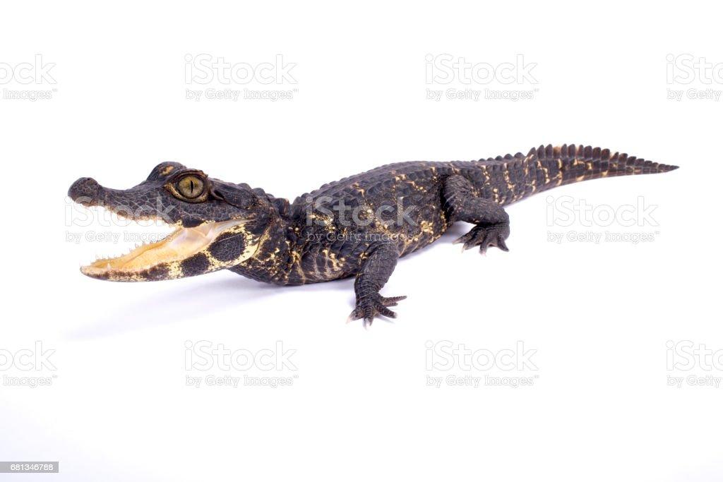 Dwarf crocodile (Osteolaemus tetraspis stock photo