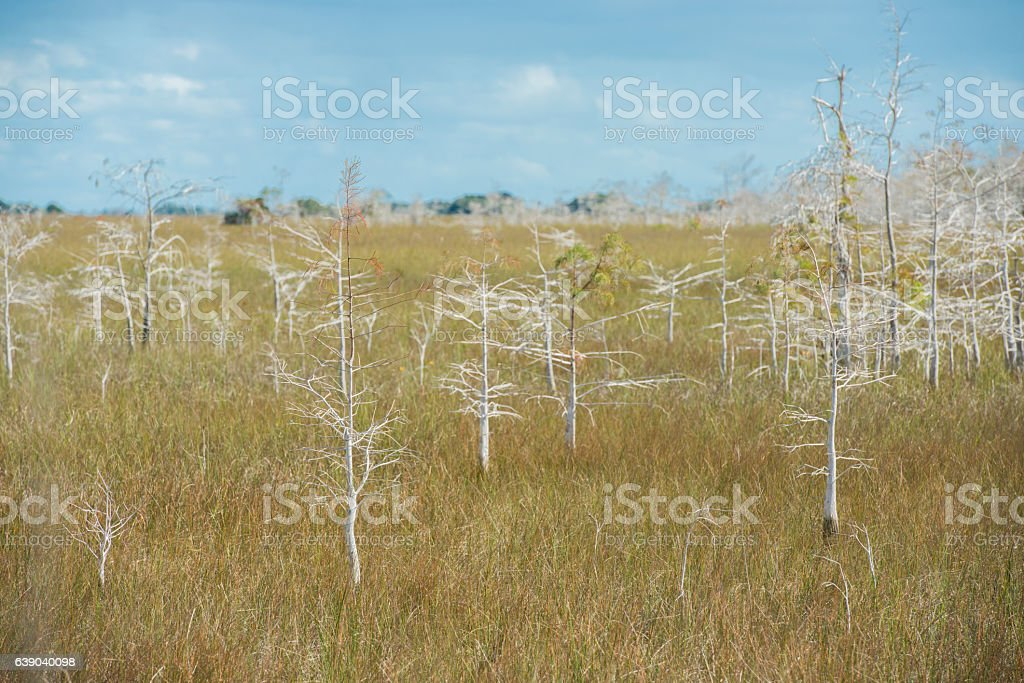 Dwarf Cypress Trees Growing in Wetlands Everglades National Park Florida stock photo