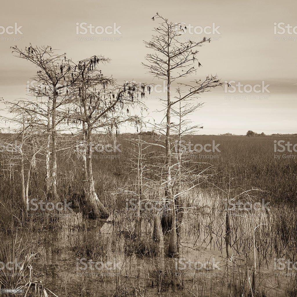 Dwarf Cypress Trees royalty-free stock photo