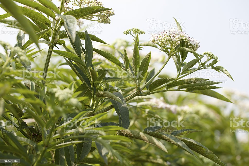 Dwarf Elder, Danewort (Sambucus ebulus) royalty-free stock photo