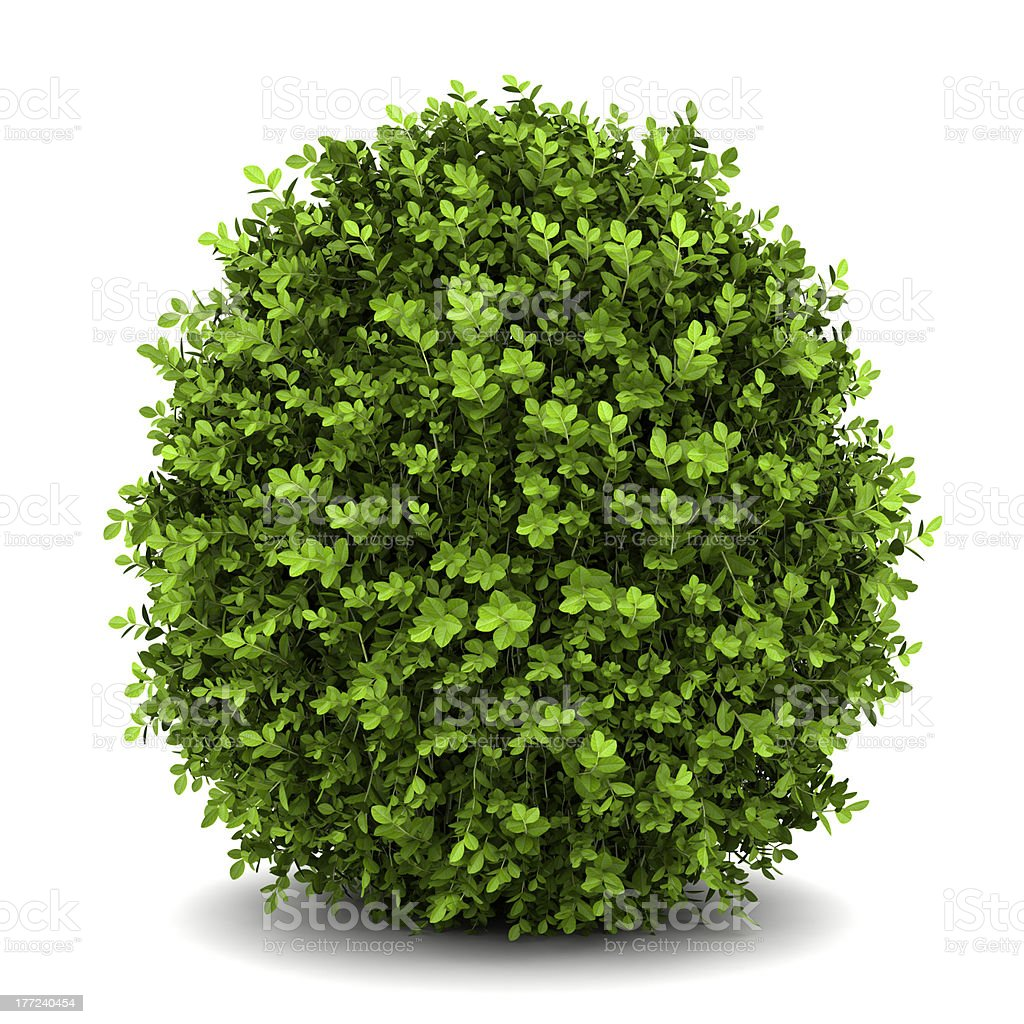 dwarf english boxwood  isolated on white background stock photo