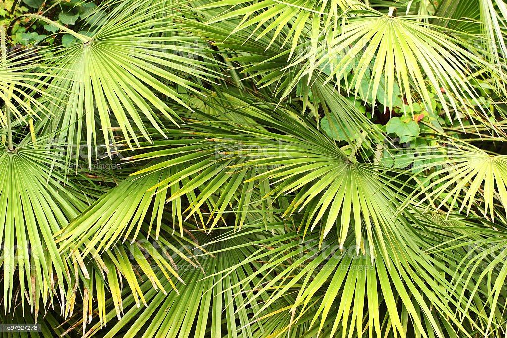 Dwarf Fan Palm (Chamaerops humilis) leaves as background stock photo