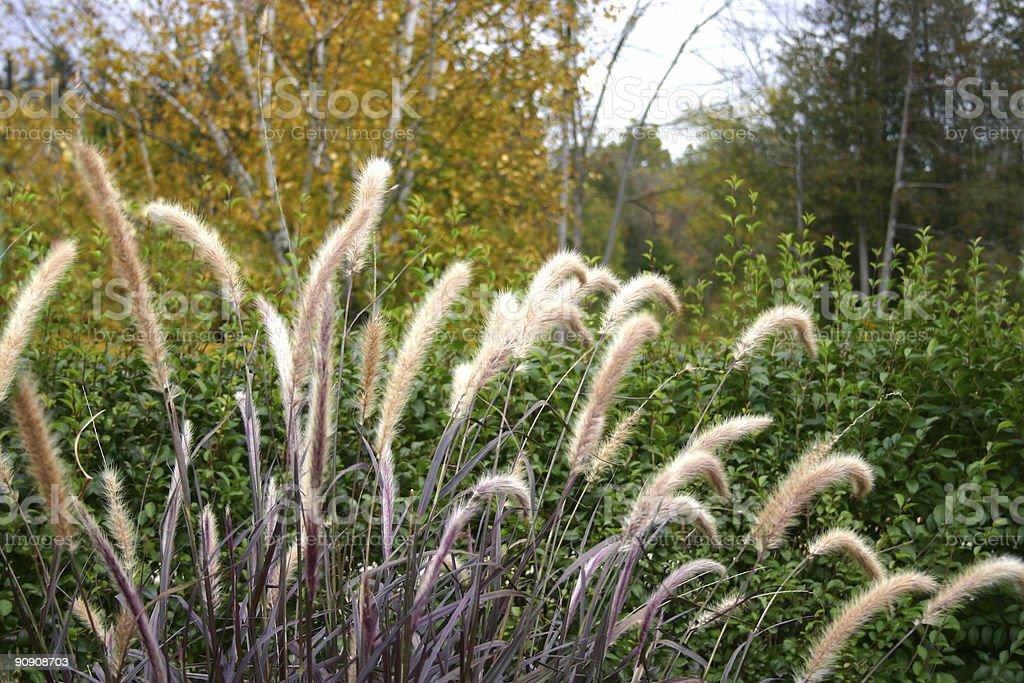 Dwarf Fountain grass stock photo