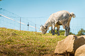 dwarf goat grazing in a green meadow