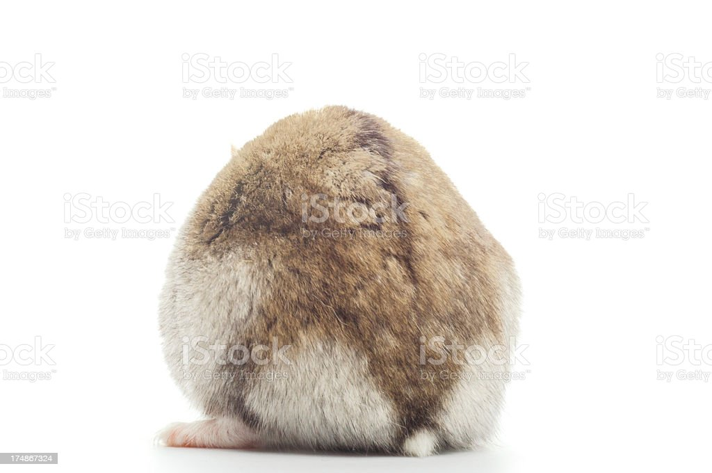 Dwarf Hamster from behind stock photo