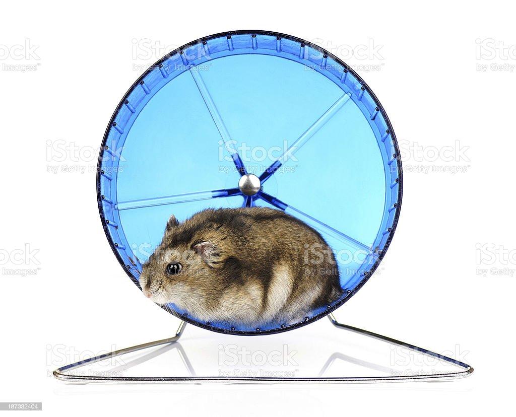 Dwarf hamster on blue hamster wheel stock photo
