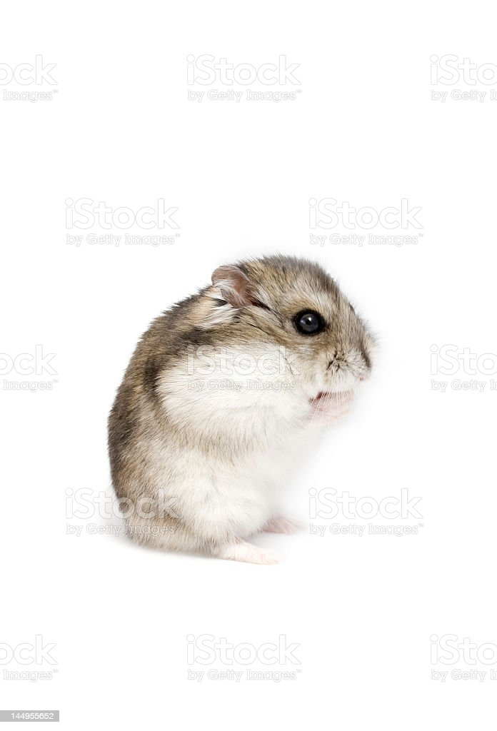 Dwarf hamster stock photo