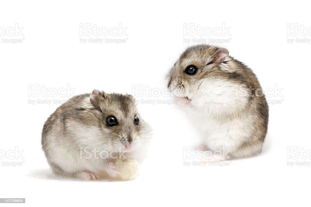 Dwarf hamsters stock photo