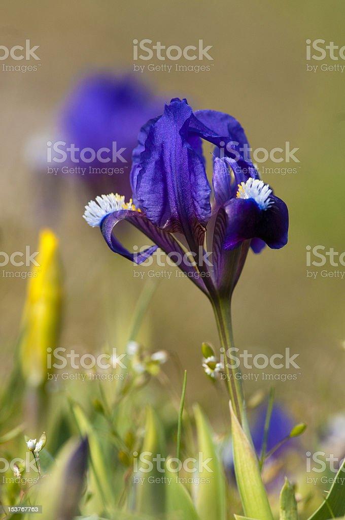 Dwarf Iris in springtime stock photo