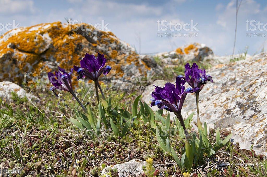 Dwarf Iris on field stock photo
