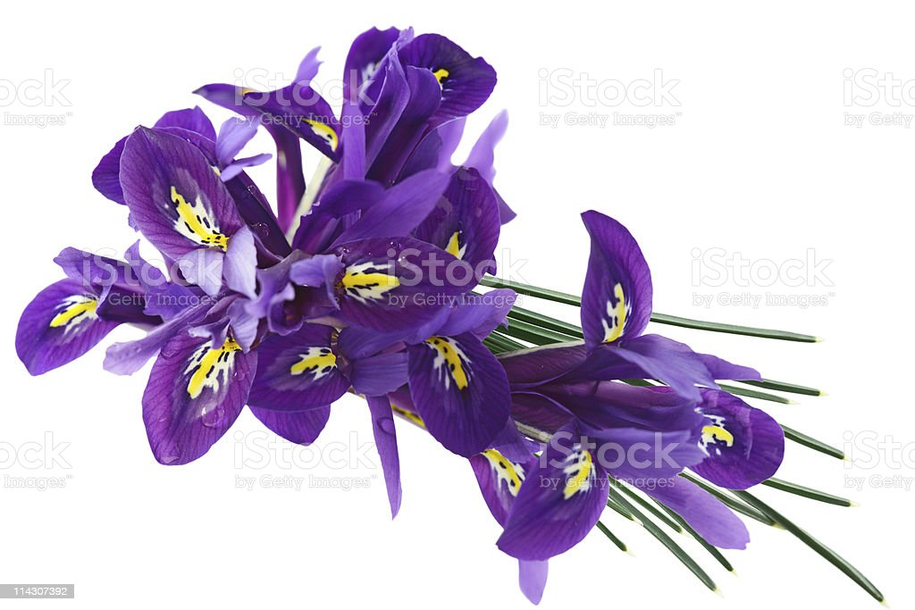 Dwarf Iris stock photo