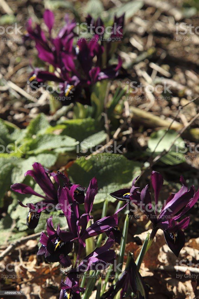 Dwarf iris stock photo