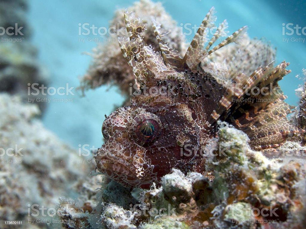 dwarf lionfish Dendrochirus brachypterus royalty-free stock photo