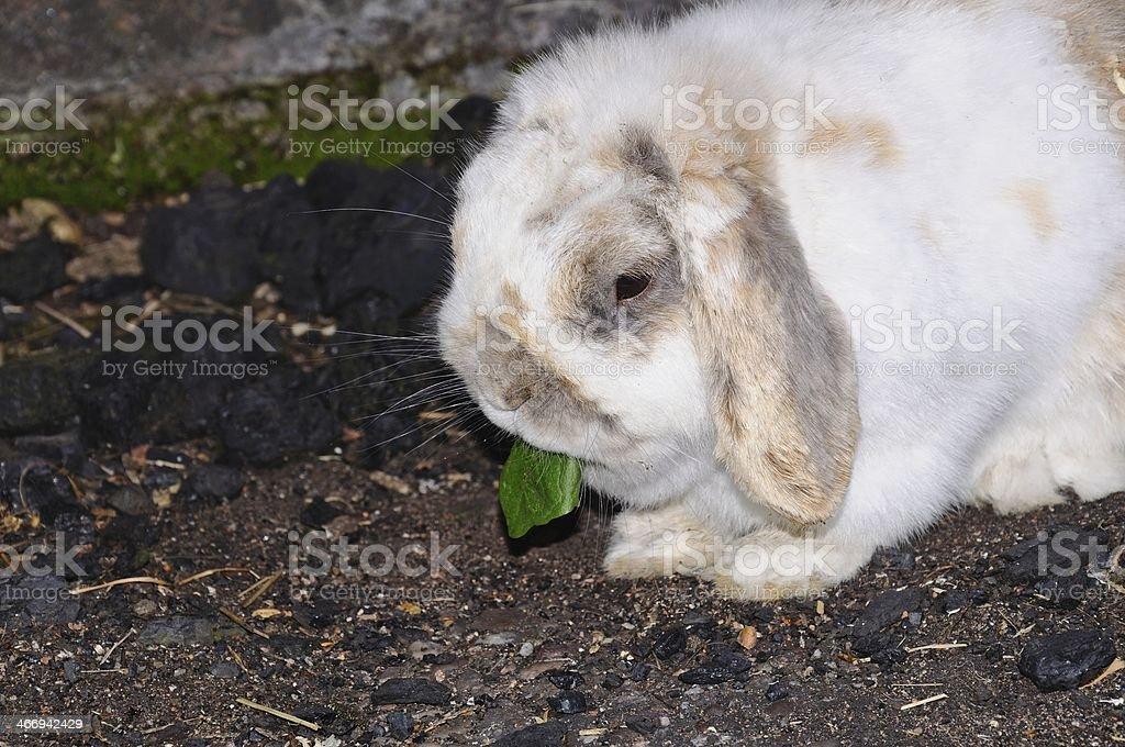 Dwarf Lop rabbit eating dandelion leaf. stock photo