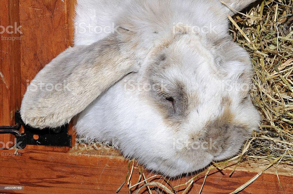 Dwarf Lop rabbit in hutch. royalty-free stock photo