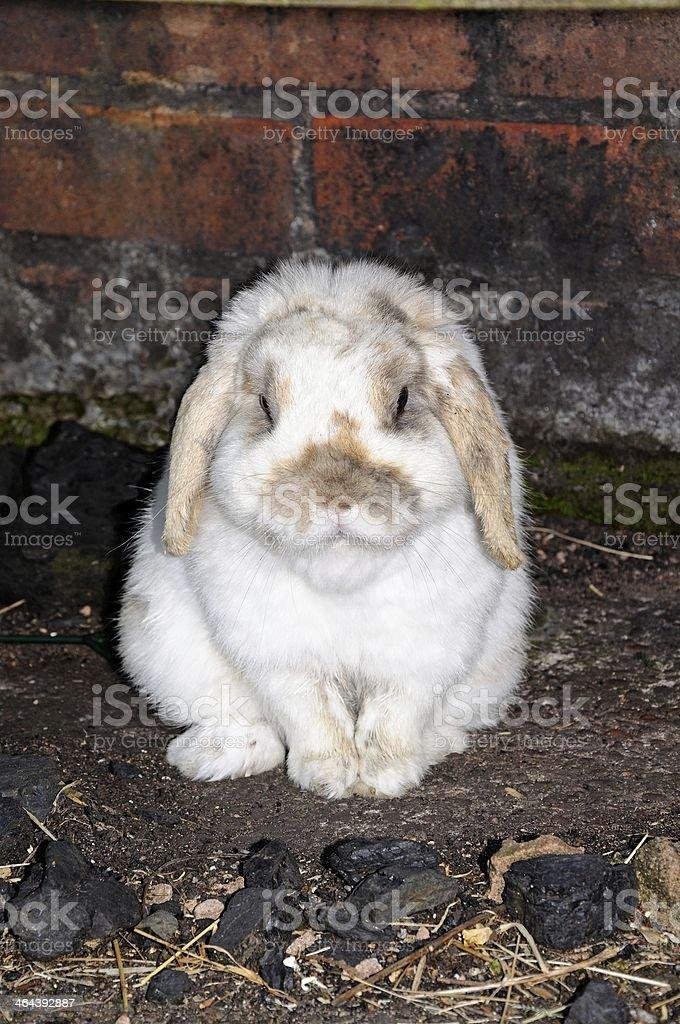 Dwarf Lop rabbit. stock photo