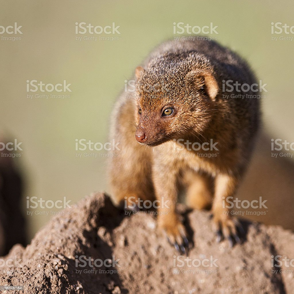 Dwarf mongoose in the Serengeti National Park royalty-free stock photo