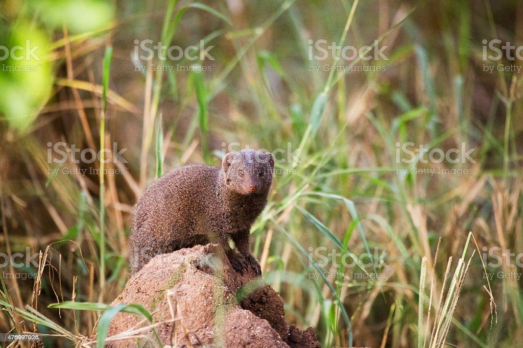 Dwarf Mongoose, Kruger National Park, South Africa stock photo