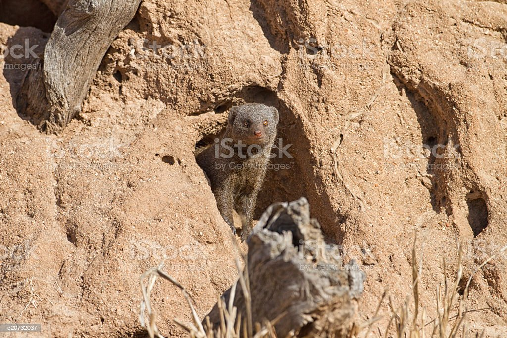 Dwarf Mongoose looking out, Kruger National Park, South Africa stock photo