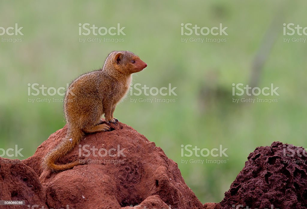 Dwarf mongoose on a termite mound stock photo