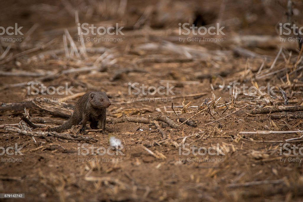 A Dwarf mongoose on the dirt in the Kruger. stock photo