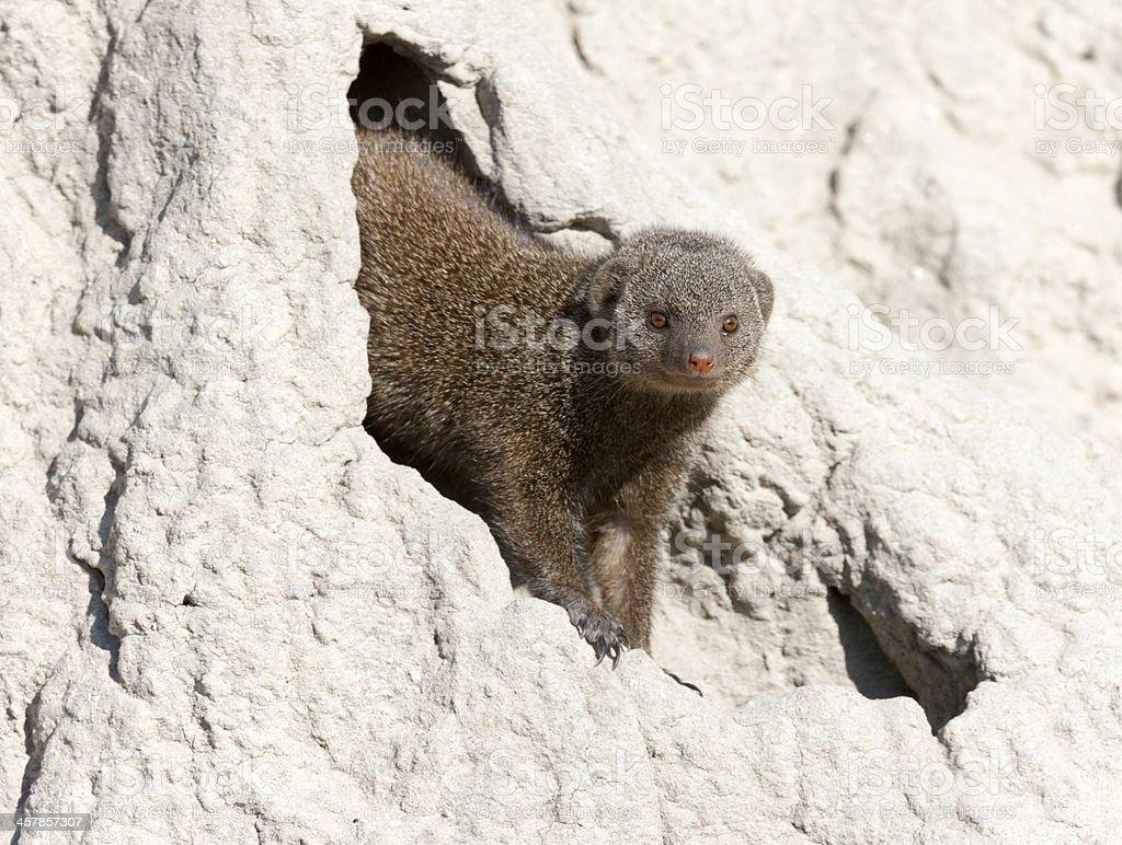 Dwarf Mongoose stock photo