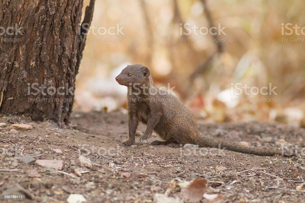 Dwarf mongoose (Helogale parvula) stock photo