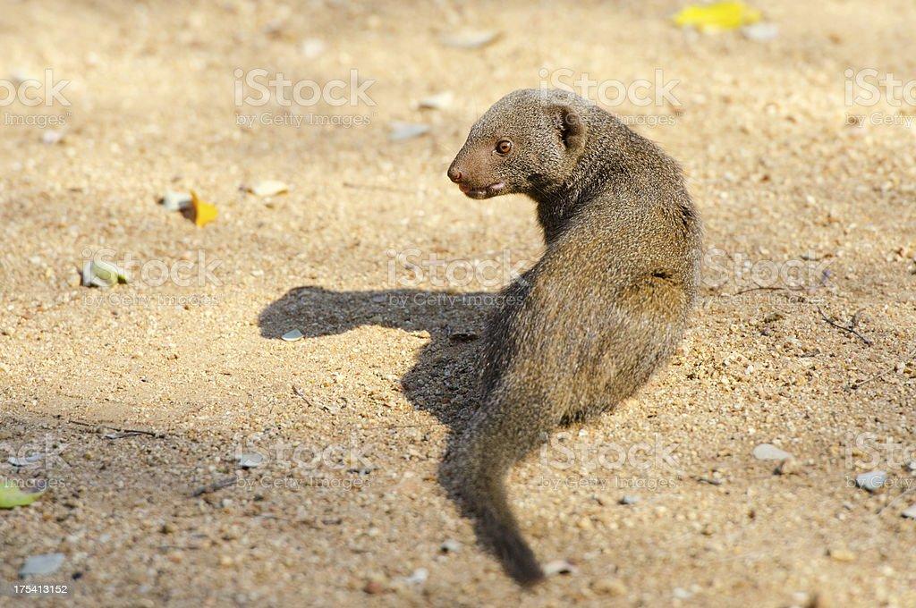 Dwarf Mongoose - South Africa stock photo