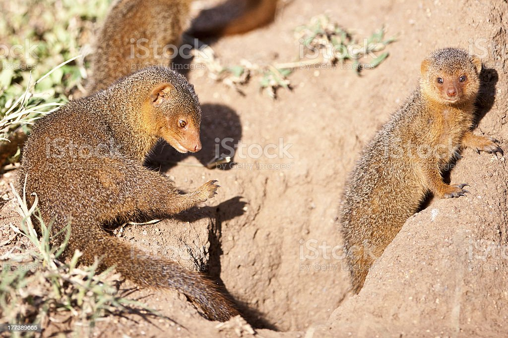 Dwarf mongooses in the Serengeti National Park stock photo