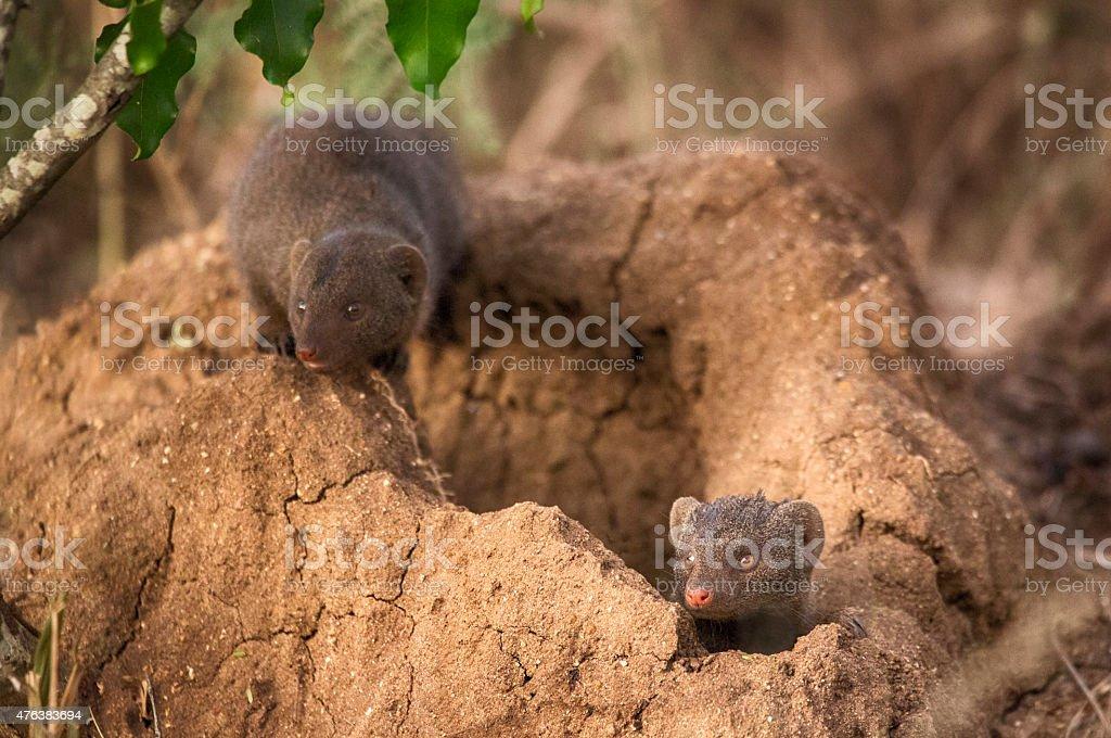Dwarf Mongooses, Kruger National Park, South Africa stock photo