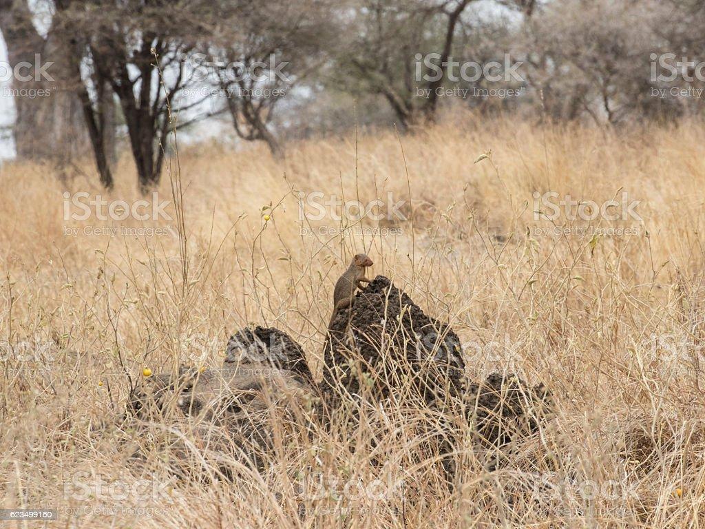 Dwarf mongooses on a termite mound stock photo