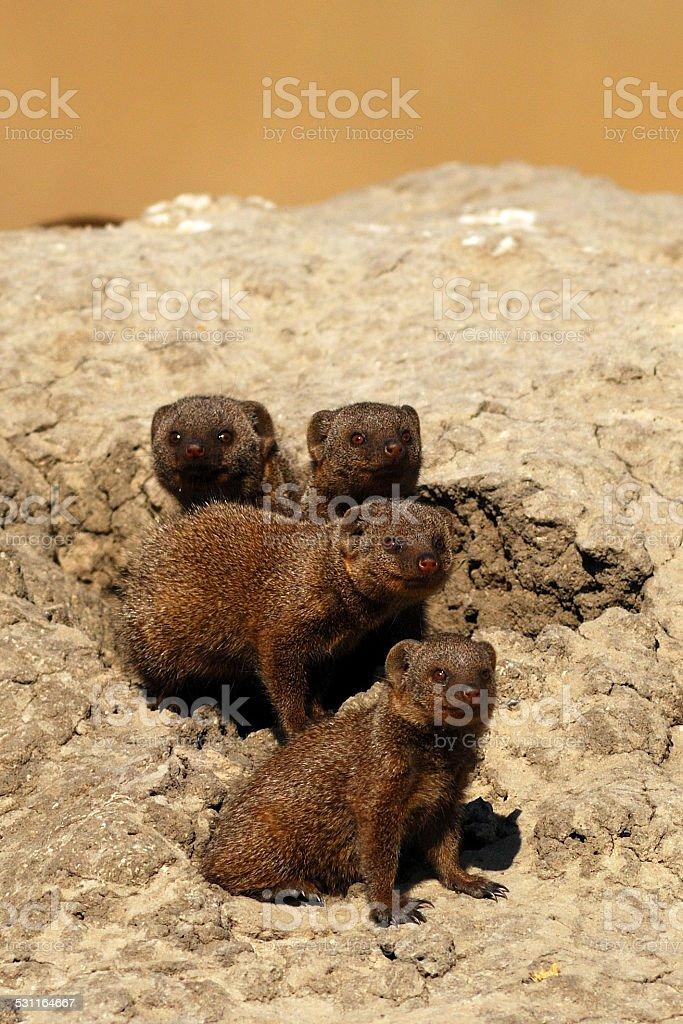 Dwarf mongooses stock photo