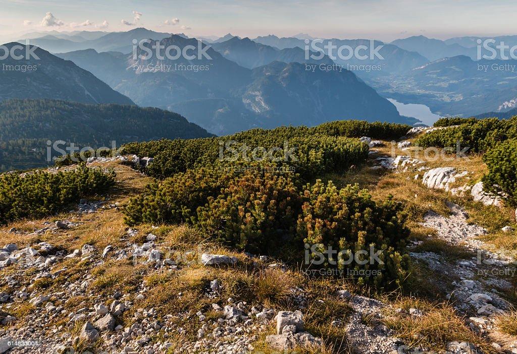 dwarf mountain pine growing in Hoher Dachstein Alps in Austria stock photo
