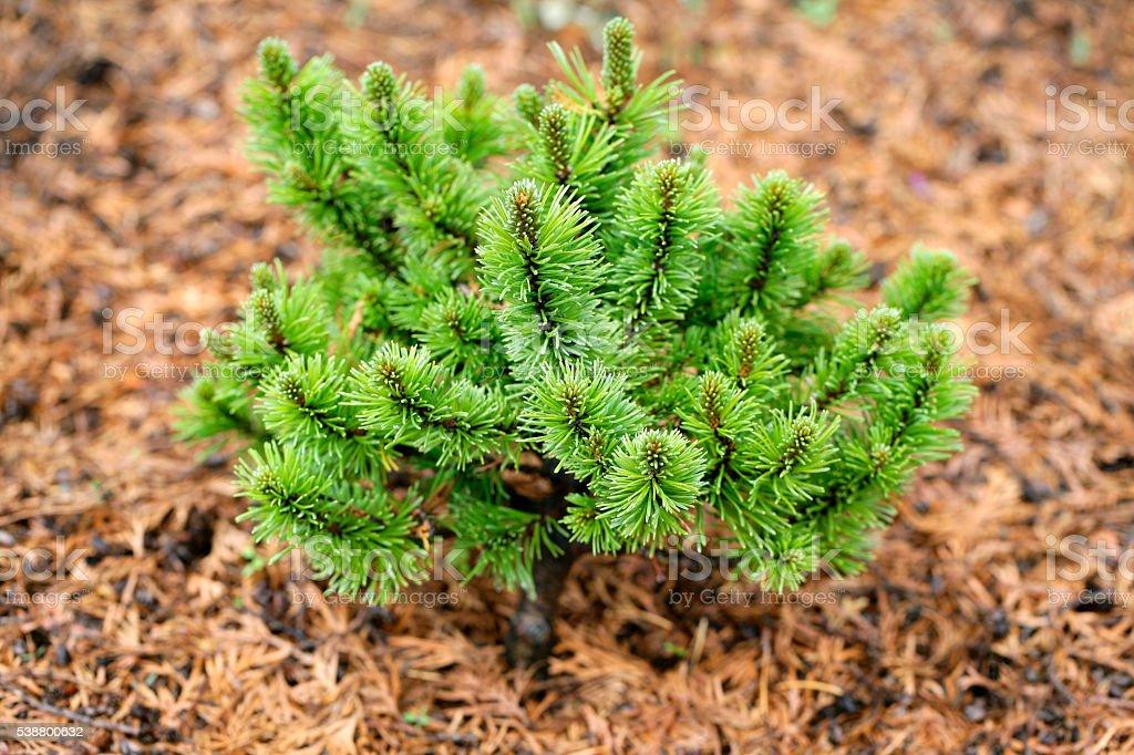 Dwarf Mountain Pine stock photo