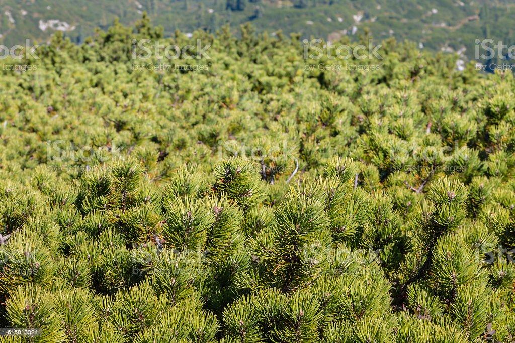 dwarf mountain pine shrubs background stock photo
