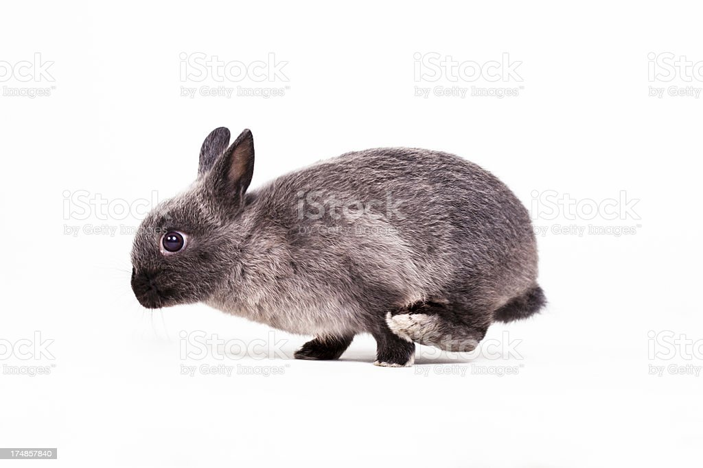 Dwarf on the move royalty-free stock photo