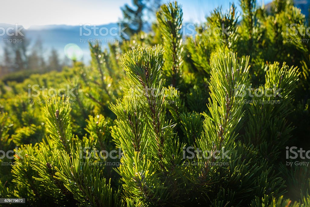 Dwarf pine branches up close stock photo