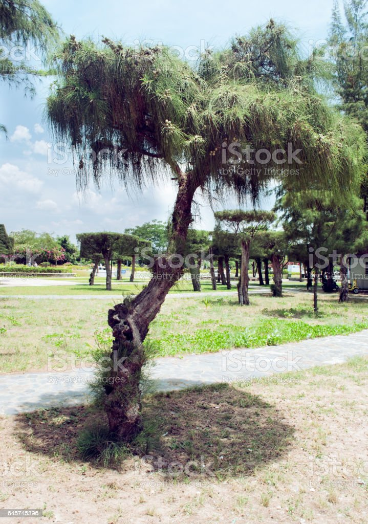 Dwarf pine in the central park of Nha Trang Vietnam stock photo