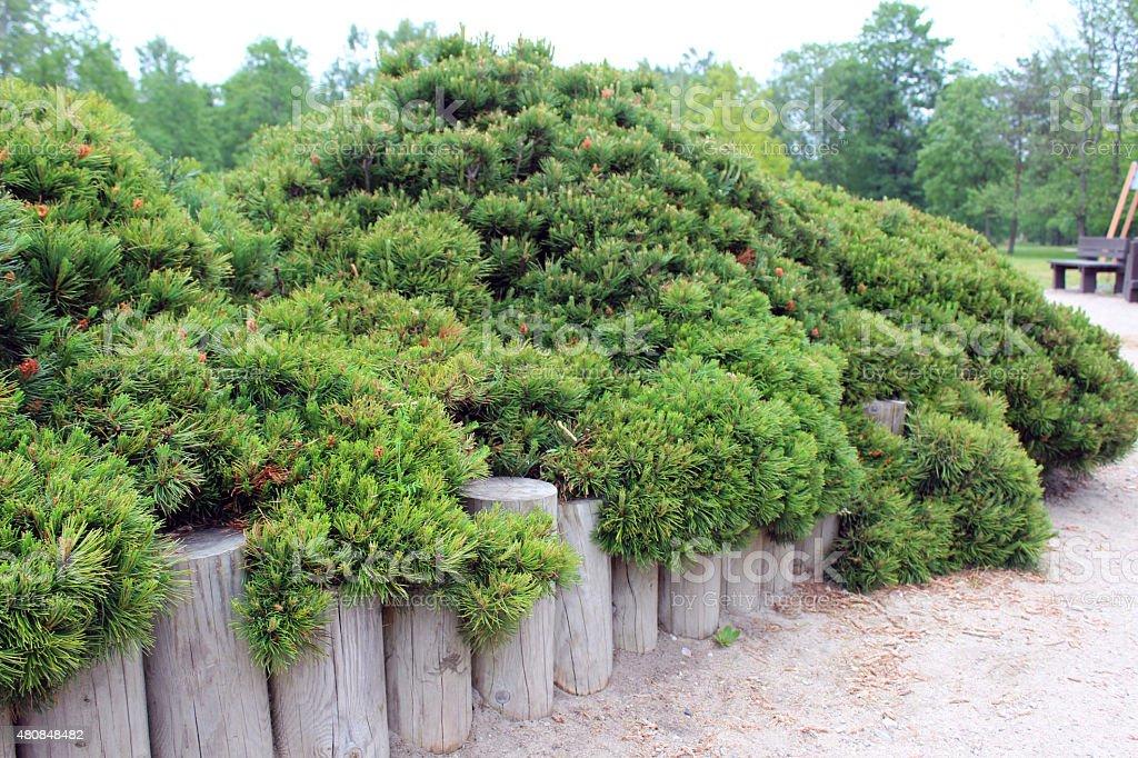 Dwarf pine royalty-free stock photo