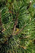 dwarf pine twig