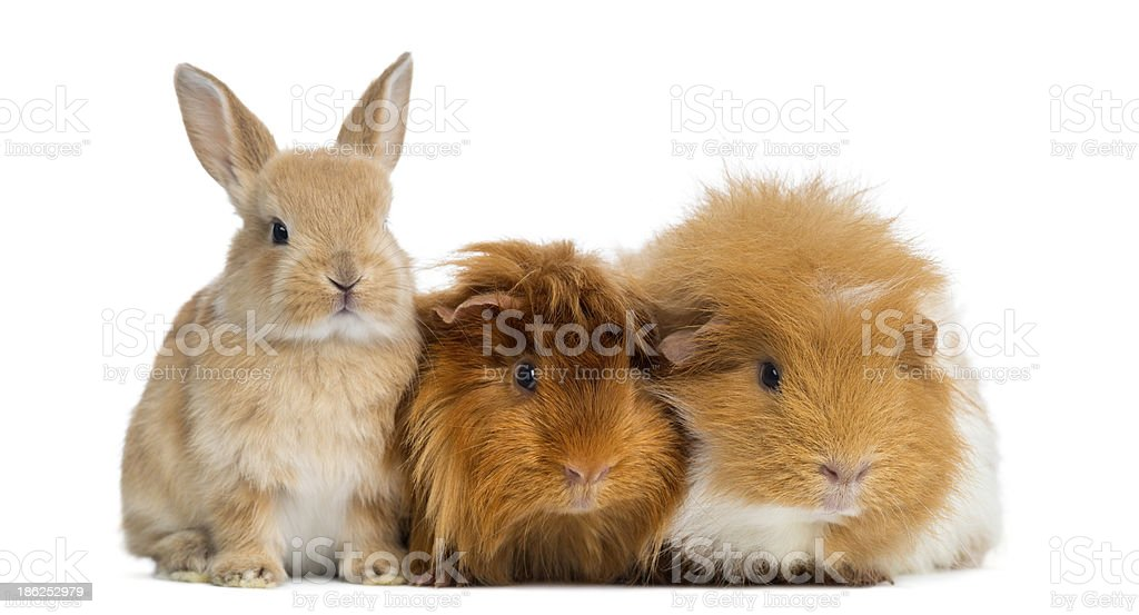 Dwarf rabbit and Guinea Pigs, isolated on white stock photo