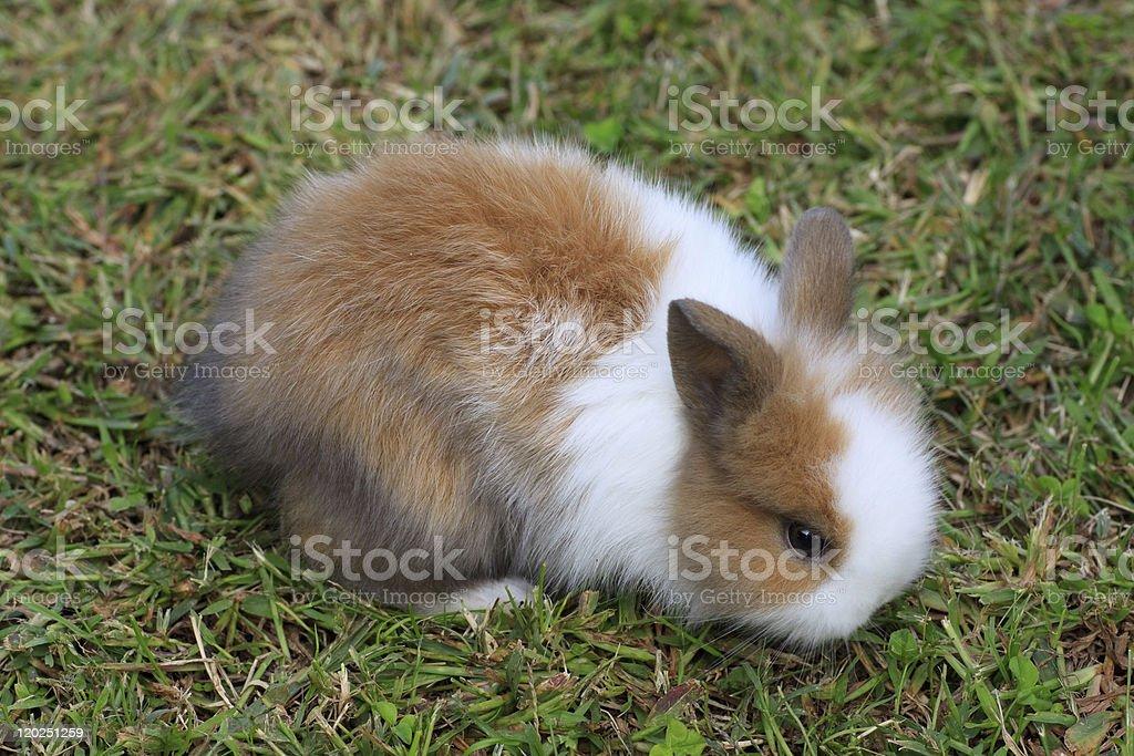 dwarf rabbit royalty-free stock photo